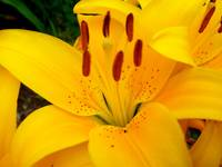 Yellow Dream Lily