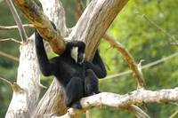 Nothern white-cheeked gibbon