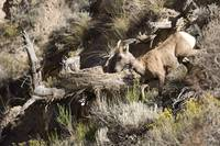 _D037925 mountain goats_1