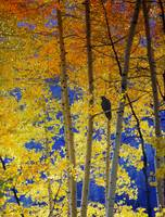 raven among the aspens