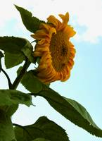 Giant Sunflower 5658