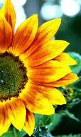 Macro Sunflower 5631