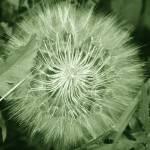 """Seed Head 5629"" by rayjacque"