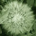 """Seed Head 5629"" by rayjacque"
