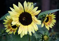 Yellow and Brown Sunflowers 5628