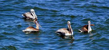 Pelicans off the South Carolina Coast