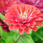 """Multi-Colored Zinnia"" by feagans_photography"