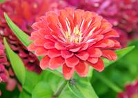 Multi-Colored Zinnia