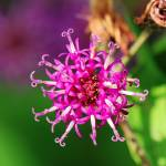 """Purple Wildflower"" by feagans_photography"