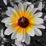 """Bee On Sunflower"" by feagans_photography"
