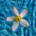"""White Frangipani Floating"" by myikpix"