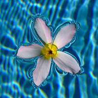 """White Frangipani Floating"" by MHH S."