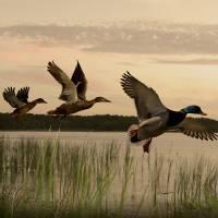 Wild Ducks Aloft by I.M. Spadecaller