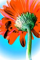 Gerbera Orange Pop