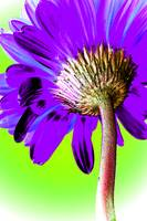 Gerbera Purple Pop