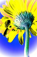 Gerbera Pop Yellow