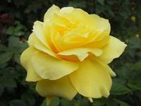 Yellow rose in Christchurch Botanical Gardens