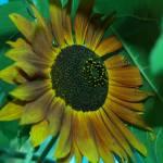 """""""sunflower"""" by sandradee8"""