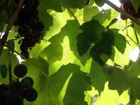 Shadow Dancing Grapes