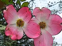 Dogwood Bloom