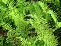 Mountain Ferns