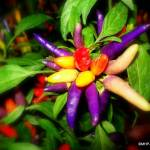 """Rainbow of Peppers"" by MHP-Photography"