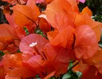 Lovely Orange Bouganvillea Australia