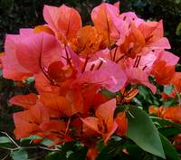 Beautiful Orange Pink Bouganvillea