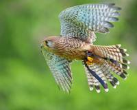 Common Kestrel - Turmfalke