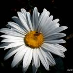 """Bee Daisy"" by MHP-Photography"