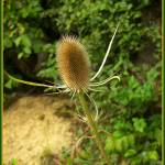 """Teasel"" by ttelyob"