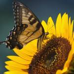 """Swallowtail on Sunflower, Drink Up"" by danfeather"