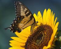 Swallowtail on Sunflower, Drink Up