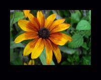 Blackeyed Susan Matted