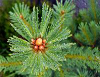 Larch With Raindrops