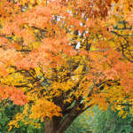 """Fall Tree art print Orange Yellow Autumn Trees"" by BasleeTroutman"