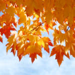 """Autumn Sky Bright Yellow Orange Fall Leaves"" by BasleeTroutman"