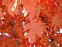 Fall Orange Tree Leaves art prints