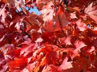 Red Fall Leaves art prints Fall Trees