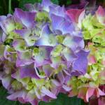 """Hydrangea 1"" by naturephotos"