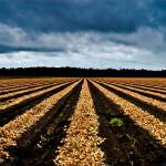 """Onion field HDR"" by Chris_P"