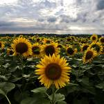 """Sunflower Infinity"" by Chris_P"