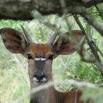 """Nyala South Africa"" by southafricaphotos"