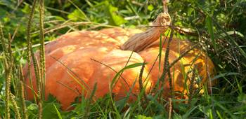 Pumpkin in the grass