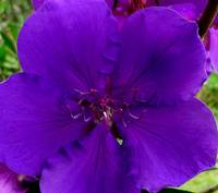 Deep Purple Tibouchina Flower