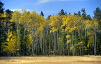 Grove of Quaking Aspen