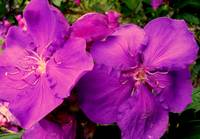 Gorgeous Purple Tibouchina Flowers