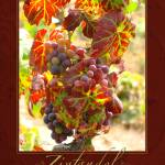 """Zinfandel on the Vine"" by shariwarren"