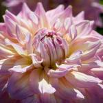 """decorative dahlia"" by cisfo"