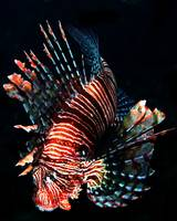 Sealife:  Lionfish, Onna Point